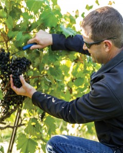A vineyard manager harvests Chambourcin grapes in Kansas.